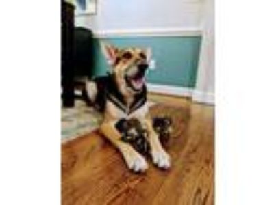 Adopt Jett (CL) a German Shepherd Dog