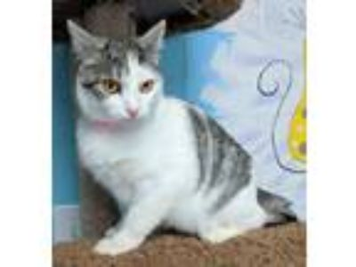Adopt Sky 30737 a Gray or Blue (Mostly) Domestic Shorthair / Mixed (short coat)