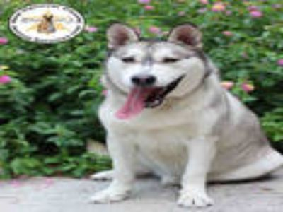 Adopt a White - with Black Husky / Mixed dog in Wilmington, NC (25593268)