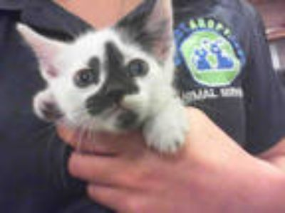 Adopt MERCURY a White (Mostly) Domestic Shorthair / Mixed (short coat) cat in