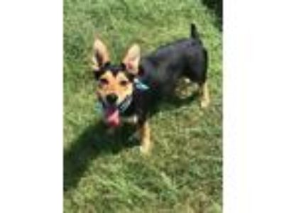 Adopt MOLLY a Black - with Tan, Yellow or Fawn Shepherd (Unknown Type) / Mixed