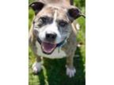 Adopt Scooby a Brown/Chocolate American Pit Bull Terrier / Mixed dog in Owosso