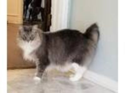 Adopt Sammy Loo a Cymric cat in Richardson, TX (21180503)