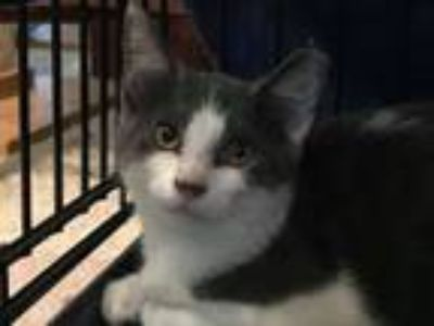 Adopt Sammy a Domestic Short Hair