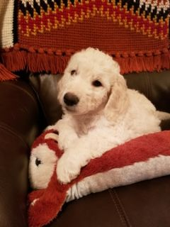 Goldendoodle PUPPY FOR SALE ADN-92814 - English Cream Goldendoodles