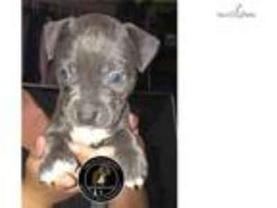 Blue Female Puppy Available