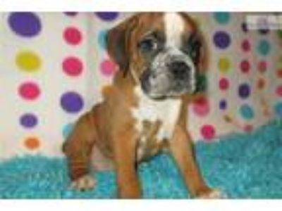 AKC registered male Boxer puppy (Dodge)