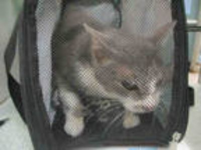Adopt SWEETPEA a Gray, Blue or Silver Tabby Domestic Mediumhair / Mixed (medium