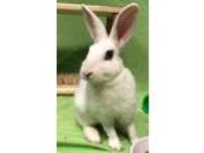 Adopt Nibbles a White Dwarf Hotot / Mixed rabbit in Woburn, MA (25567362)