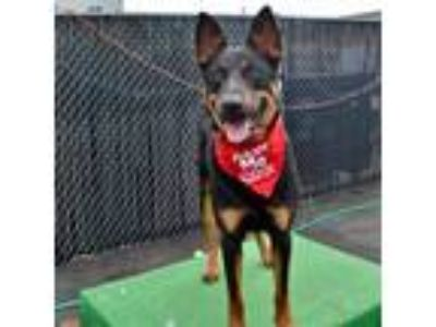 Adopt Maverick a Black Shepherd (Unknown Type) dog in Island Park, NY (24393208)
