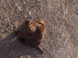 Labrador Retriever PUPPY FOR SALE ADN-64473 - Chocolate Pups