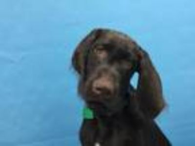 Adopt Basil a German Wirehaired Pointer, Weimaraner