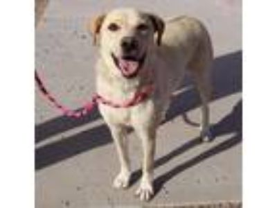 Adopt Kamikaze a Labrador Retriever, Mixed Breed