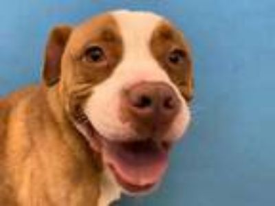 Adopt Rocky a Tan/Yellow/Fawn American Pit Bull Terrier / Mixed dog in Golden