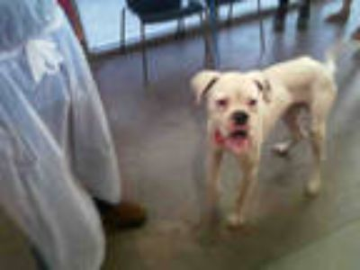 Adopt SNOW a White Boxer / Mixed dog in Dallas, TX (25570335)