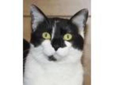 Adopt Oreo (2) a Domestic Short Hair