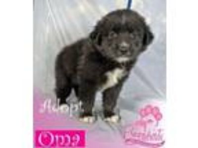 Adopt Oma a Border Collie, Labrador Retriever