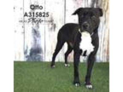 Adopt OTTO a Black - with White American Pit Bull Terrier / Labrador Retriever /