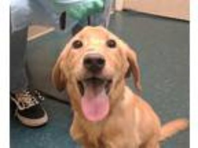Adopt Donald Duck a Labrador Retriever, Hound