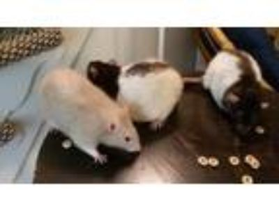 Adopt NIGEL, MAXWELL, and JULES a Rat