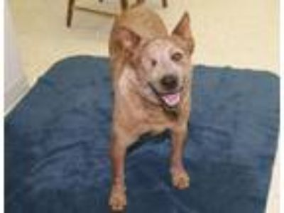 Adopt Rusty a Australian Cattle Dog / Blue Heeler