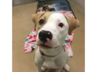 Adopt Taco a Pit Bull Terrier, Mixed Breed