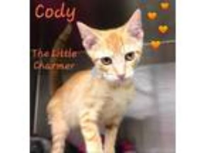 Adopt CODY - Unique Looking Kitten! a Domestic Short Hair, Oriental Tabby