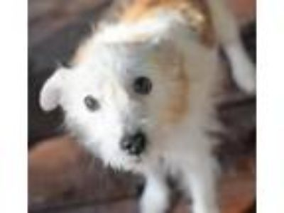 Adopt Sparkle a Jack Russell Terrier / Mixed dog in Springfield, VA (24295111)