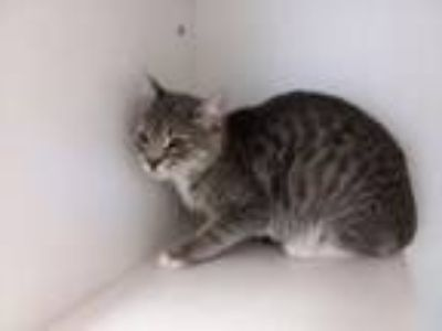 Adopt A690898 a Domestic Short Hair
