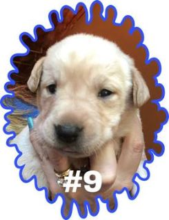 Labrador Retriever PUPPY FOR SALE ADN-80826 - Yellow male 9