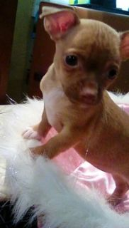 French Bulldog Puppies For Sale In Va Craigslist