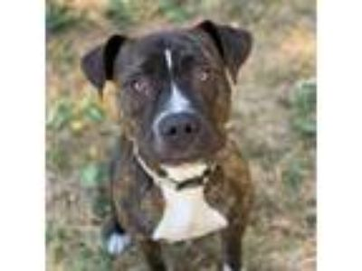 Adopt Kyra a Pit Bull Terrier