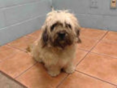 Adopt LUCKY a Tan/Yellow/Fawn - with Black Shih Tzu / Mixed dog in Downey