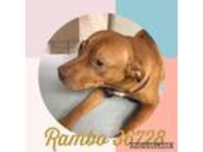 Adopt Rambo a Pit Bull Terrier