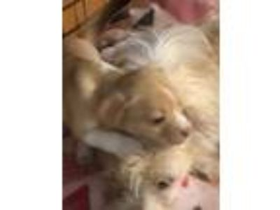 Adopt Litlle Lilac, Angel Puppy a Tan/Yellow/Fawn - with White Cairn Terrier /