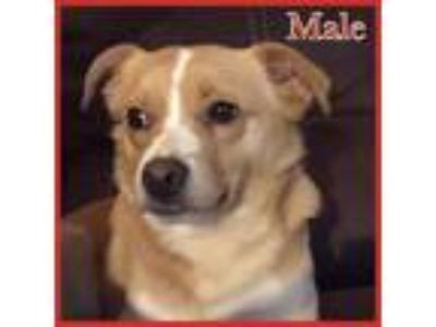 Adopt Mango a Tan/Yellow/Fawn - with White Corgi / Shiba Inu / Mixed dog in