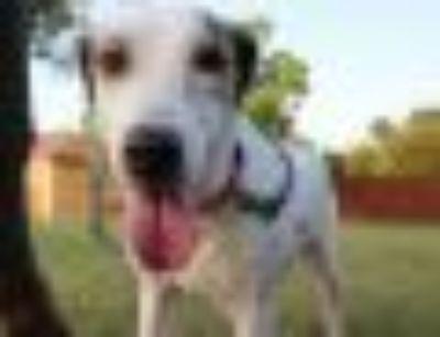 Wynonna Hound - Labrador Retriever Dog