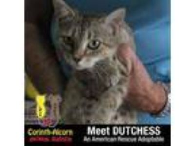 Adopt Dutchess (1964) a American Shorthair