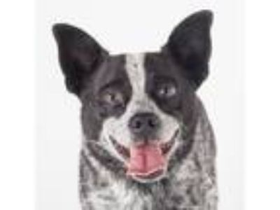 Adopt Ajax a Black Australian Cattle Dog / Mixed dog in San Francisco