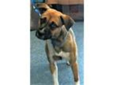 Adopt 157936 a Brown/Chocolate Shepherd (Unknown Type) / Mixed dog in