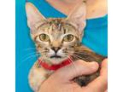 Adopt Satine a Calico or Dilute Calico Calico / Mixed (short coat) cat in