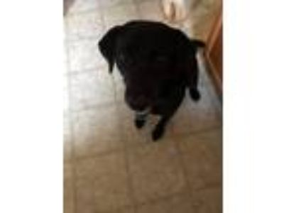 Adopt Blaze a Black Labrador Retriever