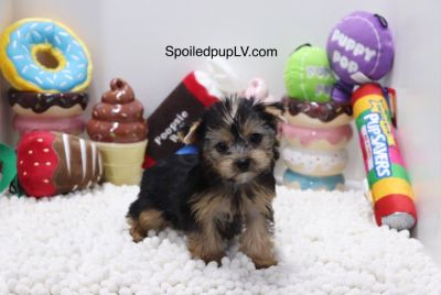 Yorkshire Terrier - Ruby - Female