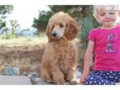 Ch Bred Moyen Pup With A Sweet, Sunny Personality!