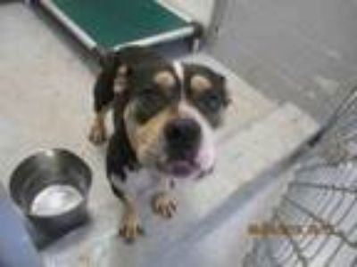 Adopt CHUNK a Pit Bull Terrier, Mixed Breed