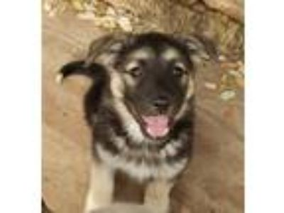 Adopt Skeeter a Tricolor (Tan/Brown & Black & White) Anatolian Shepherd / Mixed