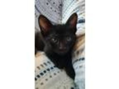 Adopt Jack the Gorgeous Kitten a Domestic Short Hair