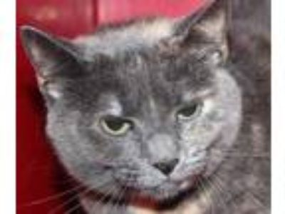 Adopt Maggie a Gray or Blue Domestic Shorthair / Domestic Shorthair / Mixed cat