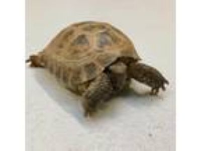 Adopt Torpedo a Turtle - Other / Mixed reptile, amphibian