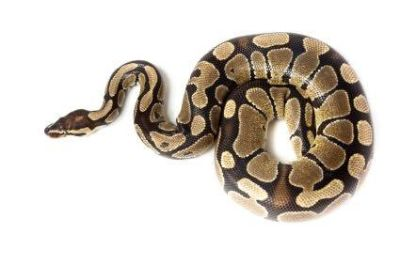 ISO a ball phyton or red tail boa